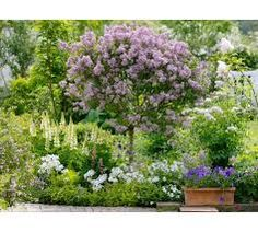 Dwergsering Syringa meyeri Palibin op stam - Google zoeken Planting Flowers, Flower Plants, Flower Gardening, Garden Projects, House Projects, Garden Ideas, Lilac Tree, Sensory Garden, Syringa