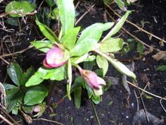 Lenteroos (Helleborus oriëntalis)  De Kerstroos is een vaste plant van ongeveer 40 a 50 cm hoogte. Deze plant bloeit met paarse of roze bloemen. Voor een goede groei moeten de zaaddozen direct na de bloei verwijderd worden.  Er kan makkelijk zaad gewonnen worden, maar de plant is niet zaadvast.  Houdt van een goed doorlatende grond en in halfschaduw.    De moederplant kan alleen door scheuren vermeerderd worden.