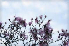 Winter's inspiration of blooming flowers feed my soul. Magnolias in bloom at San Fransisco Botanical Garden. Buy Flowers, Blooming Flowers, San Fransisco, Winter Beauty, Magnolias, Botanical Gardens, Landscape, Fall, Creative
