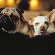 Tea Tree Oil for Ear Mites in Dogs | eHow