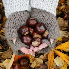 Buckeyes or Horse Chestnuts; VERY similar but both are inedible by humans. We collected them, made necklaces out of them and loved to climb trees to reach them when I was a child growing up in OHIO.