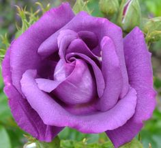 Rhapsody in Blue Photo Rose, Rhapsody In Blue, Lilac Roses, Beautiful Rose Flowers, Pretty Wallpapers, Sunflowers, Ladybug, Floral Arrangements, Gardens