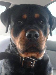 #Rottweiler selfie