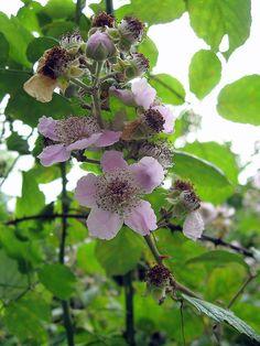 Flor de l'esbarzer (Rubus ulmifolius)