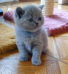 I have a british shorthair blue-grey