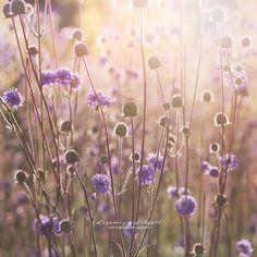 I love sunlight in the golden hour! Golden Hour, Sunlight, Dandelion, My Love, Instagram Posts, Flowers, Plants, Photography, Photograph