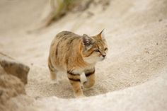 A cat walking along in the desert, cute, sandy coloured with some stripes on its legs