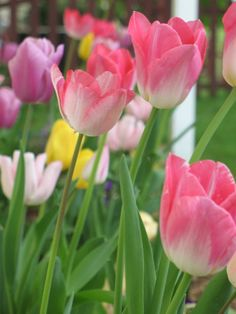 Is it Spring yet?...I love tulips