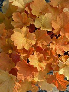 Heuchera 'Caramel' Coral Bells for the fall garden