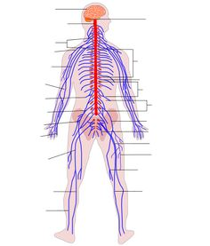 Human Nervous System diagram (no text).svg