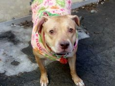 URGENT - Manhattan Center    SASHA - A0992738   FEMALE, BROWN / WHITE, PIT BULL MIX, 7 yrs  OWNER SUR - AVAILABLE, NO HOLD Reason MOVE2PRIVA   Intake condition NONE Intake Date 02/27/2014, From NY 10026, DueOut Date 02/27/2014, I came in with Group/Litter #K14-169305 Main thread: https://www.facebook.com/photo.php?fbid=765408726805342&set=a.617938651552351.1073741868.152876678058553&type=3&permPage=1