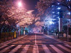 Sakura lined street, Japan