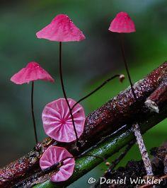 Pink Horsehair Mushrooms (Marasmius haematocephalus) ~ By Daniel Winkler Edible Mushrooms, Wild Mushrooms, Stuffed Mushrooms, Mushroom Art, Mushroom Fungi, Pink Mushroom, Alien Plants, Mushroom Pictures, Slime Mould