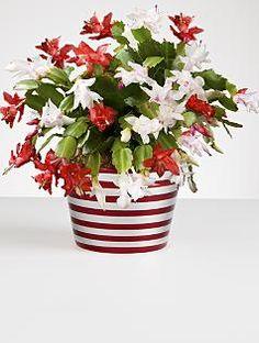 red & white christmas cactus