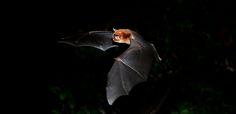 Bat - Pteronotus davyi (thanks Trinibats)   View On Black Ta…   Flickr