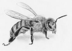 Honey bee by carlconway on DeviantArt Bee Outline, Animal Outline, Honey Bee Drawing, Insect Anatomy, Bee Sketch, Honey Bee Tattoo, Bee Boxes, Mushroom Art, Bee Art