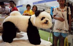 no es un panda, o si?