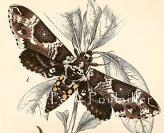 Carolina Sphinx Moth and Caterpillar 1897 Edward Lloyd Engraving ...