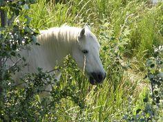 Cheval blanc Languedoc