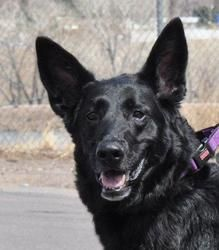 Keeba is a German Shepherd Dog Dog in Colorado Springs, CO. Keeba's Info... Breed: German Shepherd Dog Mix Color: Unknown Age: Adult Size: Large 61-100 lbs (28-45 kg) Sex: Female ID#: 13049 I...