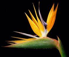 http://jurafotografiasedesenhos.xpg.uol.com.br/Flores/048-Heliconia.jpg