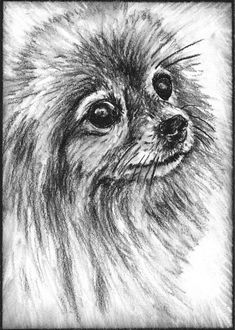 Pomeranian Paintings | Pomeranian Drawing