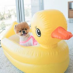 Things we all admire about the Bold Pomeranian Puppy Find Out More On Pomeranian Puppy Pomeranian Haircut, Pomeranian Facts, Pomeranian Husky, Most Instagram Followers, Cute Puppies, Cute Dogs, Jiff Pom, Pom Dog, Baby Girls