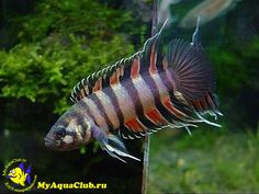 Microctenopoma ansorgii is a small freshwater fish, known in the aquarium trade as the ornate #ctenopoma, orange ctenopoma, ornate climbing perch, pretty ctenopoma, or rainbow ctenopoma.