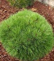 Borovica čierna Brepo 20/30 cm, v črepníku Pinus nigra Brepo