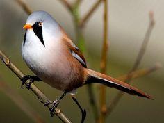 Het baardmannetje bouwt het nest in rietvelden. Het nest wordt gebouwd van riet. In een goed jaar kunnen baardmannetjes wel 15 jongen groot brengen.