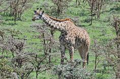 African Giraffe - MYPIC - Charles Kaplan Picture Viewer/Slideshow