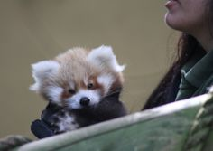The red panda that has arrived at Banham Zoo.