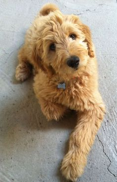 goldendoodle | TLC Goldendoodle Photos
