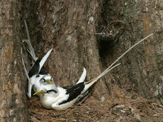 http://ibc.lynxeds.com/files/pictures/Whitetailed_Tropicbird_Cousin_Philip_Perry.jpg