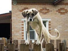 Стучит мужик в забор соседа. Подходит собака и говорит:    —Дома никого нет   Мужик чуть не сдох...   —Ты что же не лаешь?   —Пугать вас не хотела.