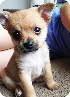 pomeranian mixed chihuahua pomeranian and chihuahua mix puppies pinterest 7834