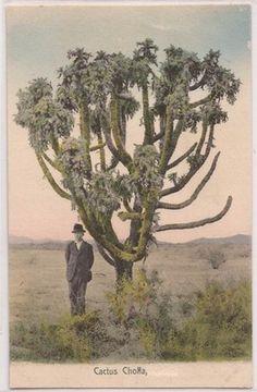 "Arizona Postcard Man Standing Next to ""Cactus Cholla"" Hand Colored c1930s Unused"
