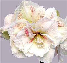Nymph Amaryllis ~ Winter Flower