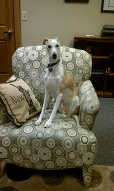 Owen the Whippet. Filling in for me at work