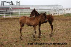 GJM HISPALIS Y GJM HECHICERA, últimos nacimientos en la Yeguada Solitel