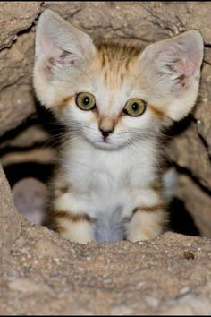 Awwwww, i want him!!!Arabian Sand Cat ... Adorable. These are the only cat who look like kittens as adults.