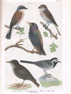 """Uit: """"Vogels bij onze woningen"""" door G. van der Meer"""