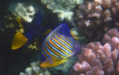 Red Sea Photograph - Royal Angelfish Closeup by Johanna Hurmerinta