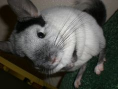 White Mosaic Chinchilla
