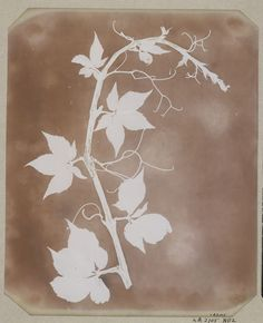 """""""Botanical specimens,"""" William Henry Fox Talbot, 19th c. (from the British Library)"""