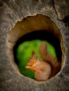 Red Squirrel - In Hollow Log - A red squirrel, sitting in a hollow log, with the green grass behind.  This is a wild red squirrel, and visitor to Forest How Guest House, Eskadale, Cumbria, in the Lake District.  Red squirrel photography blog post: http://www.georgewheelhouse.com/blog/2014/4/red-squirrel-photography-at-forest-how-guest-house-cumbria