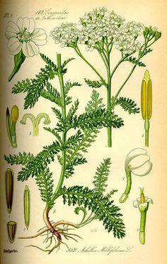 achillea scheda botanica