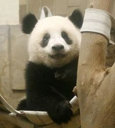 上野動物園(東京都台東区)は11日、ジャイアントパンダの子ども、シャンシャン(香香・雌)が12日で1歳となるのを前に、報道陣に園内での様子を公開した。誕生日に合わせ、けさ初めて設置されたハンモックの上が気に入ったようで、満足そうに転がったり寝そべったりしていた。