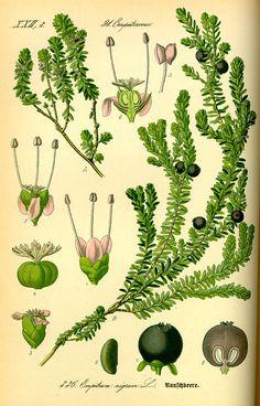 Empetrum nigrum / Camarine Noire / Crowberry / Paurngaquti. [Flora von Deutschland Österreich und der Schweiz (1885)]