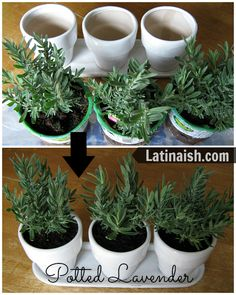 Potted lavender looks pretty, smells good, and de-stresses you. The perfect plant to have at your work desk! #lowescreator
